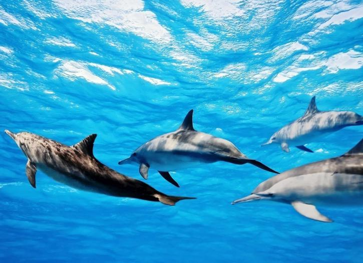 Bottlenose dolphins Swimming in the ocean