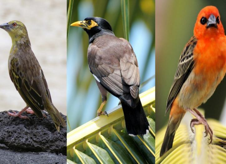 The Birdwatcher's Guide to Mauritius